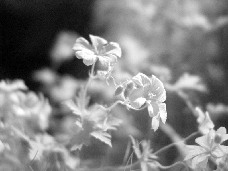 IR flower 1
